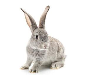 Comment les lapins voient-ils ?