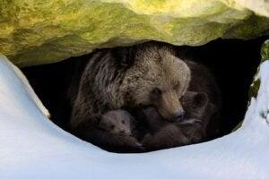 Comment les ours hibernent-ils ?