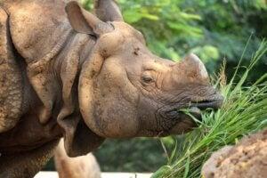 Que mangent les rhinocéros ?