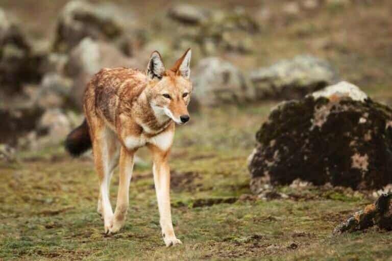 Loup d'Éthiopie : habitat et caractéristiques