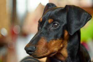 Pinscher Allemand : ce qu'il faut savoir sur cette race de chiens