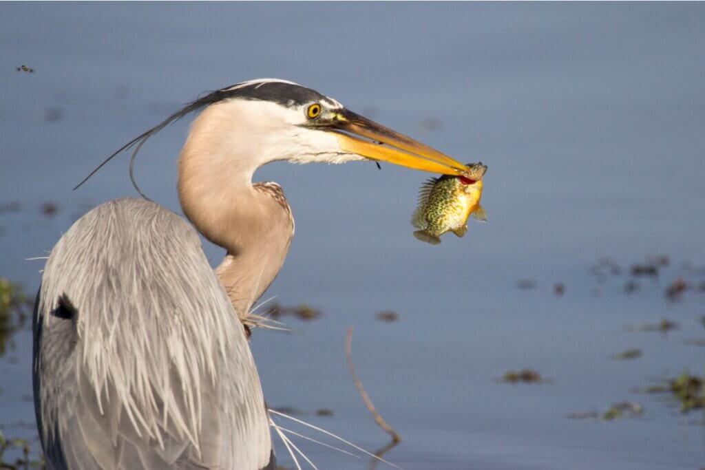 Les poissons utiliseraient les oiseaux pour coloniser de nouveaux endroits, selon une étude