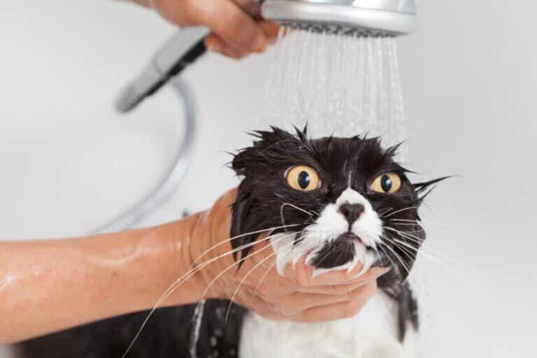 Premier bain du chat adulte : tout ce qu'il faut savoir