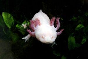 Que mange l'axolotl ?