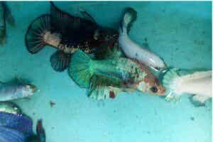 Ver lernaea chez les poissons : symptômes et traitement