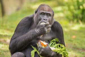 L'alimentation des gorilles