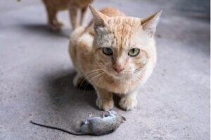 Pourquoi mon chat m'apporte-t-il des animaux morts ?