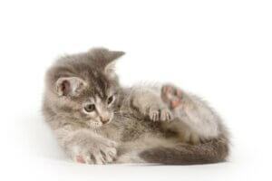 Pourquoi les chats sentent-ils leur anus ?