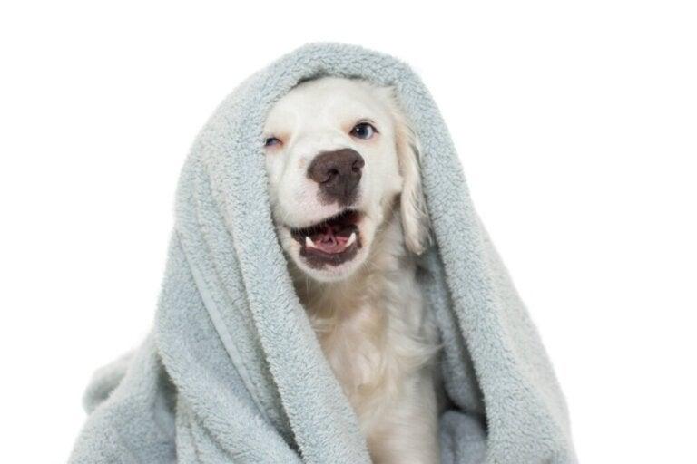 Comment laver son chien sans lui donner un bain ?