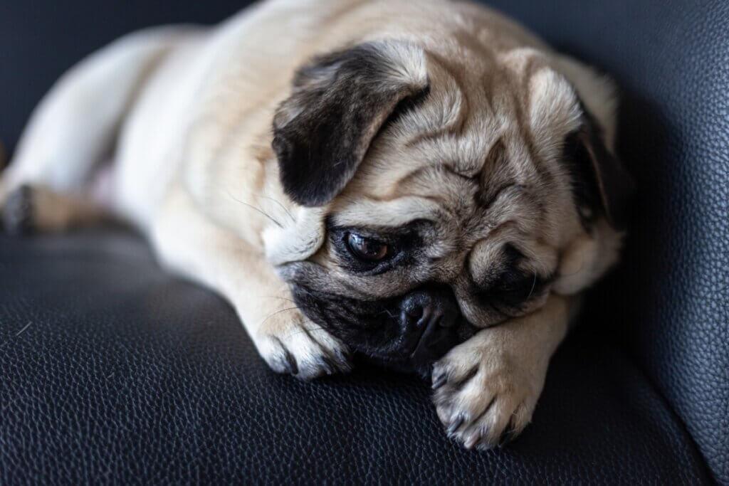 Que faire si ma chienne en chaleur n'arrête pas de pleurer ?
