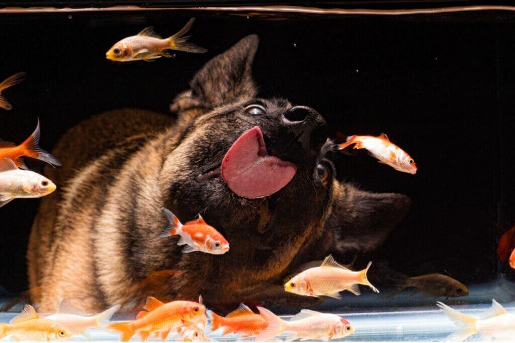 Les chiens peuvent-ils cohabiter avec les poissons ?