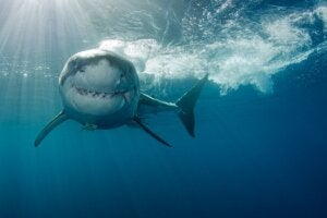 Comment les requins chassent-ils ?