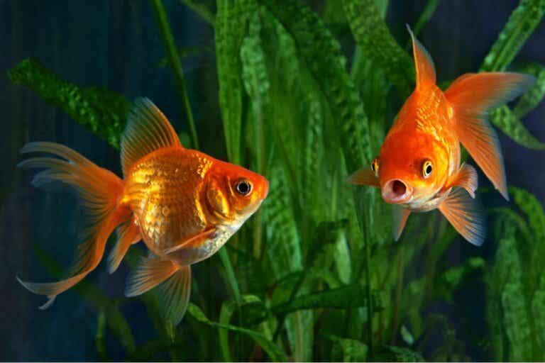 Pourquoi mon poisson rouge est-il agressif ?