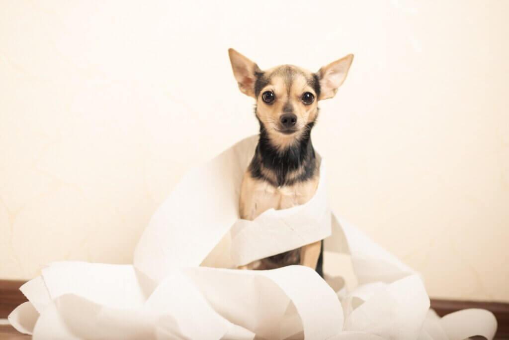 Diarrhée provoquée par Clostridium chez le chien : symptômes et traitement