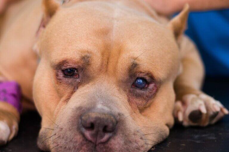 Entropion chez le chien : causes, symptômes et traitement
