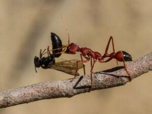 Quelle est la fourmi la plus dangereuse au monde ?