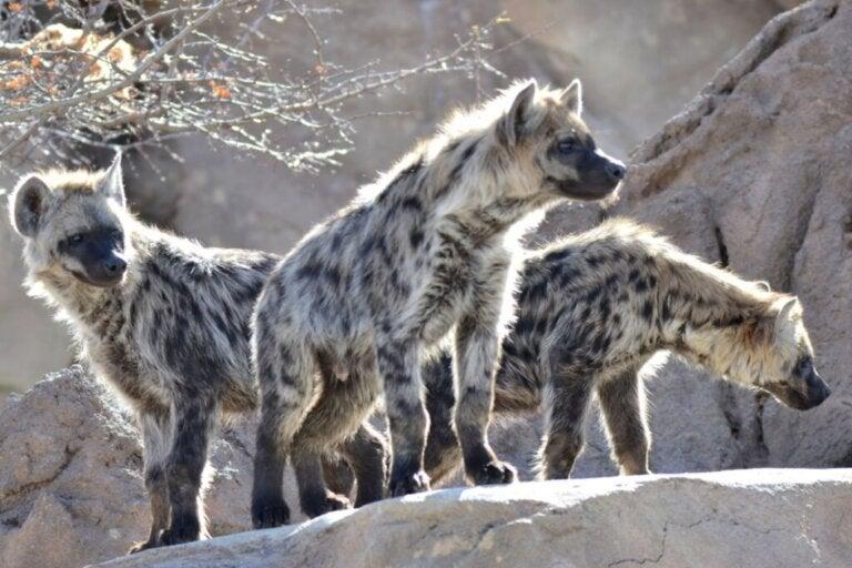Comment chassent les hyènes ?