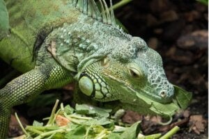 Mon iguane ne mange pas : pourquoi ?