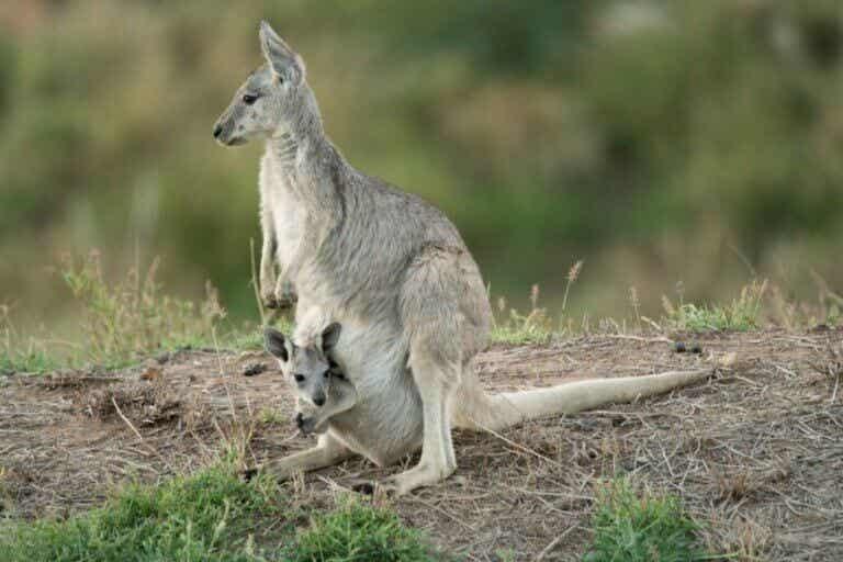 Kangourou géant : habitat et caractéristiques