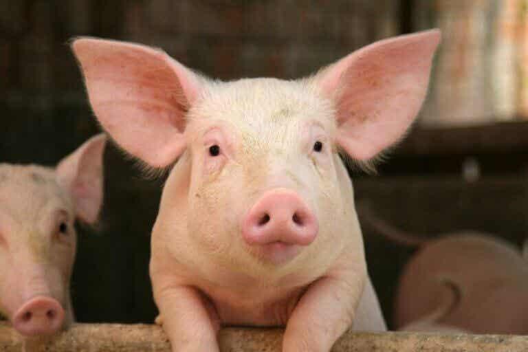 10 curiosités sur les cochons
