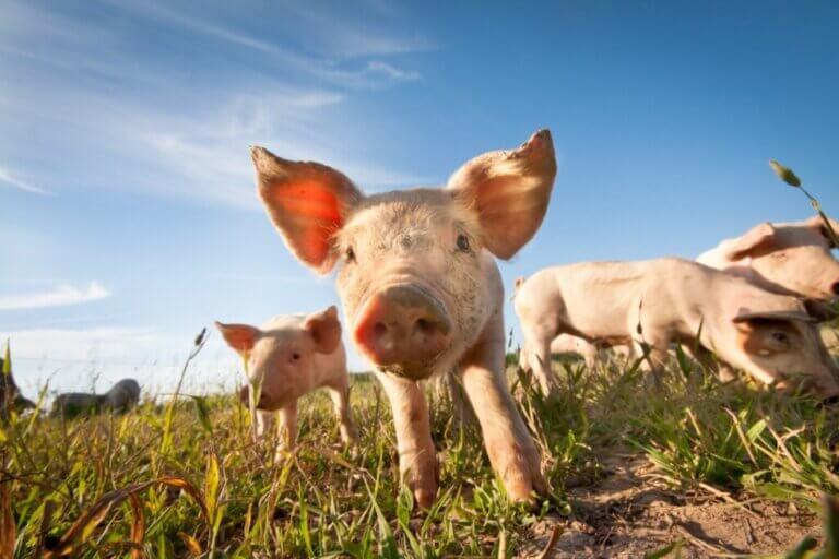 Les cochons transpirent-ils ?
