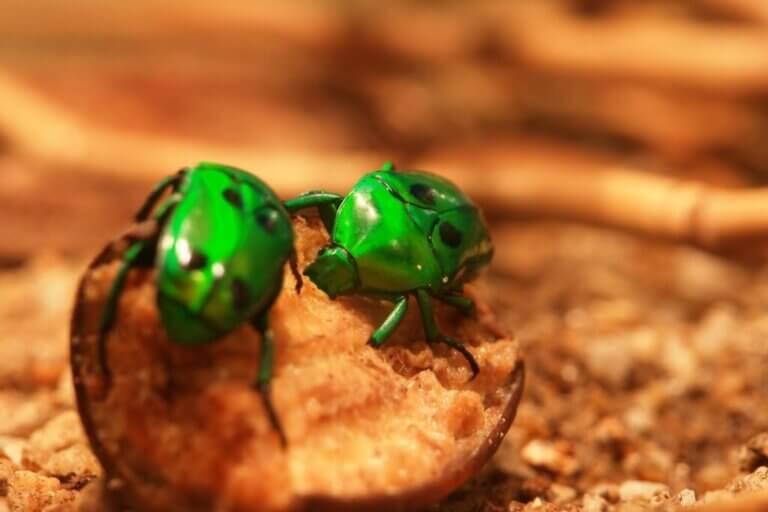 Que mangent les coléoptères ?