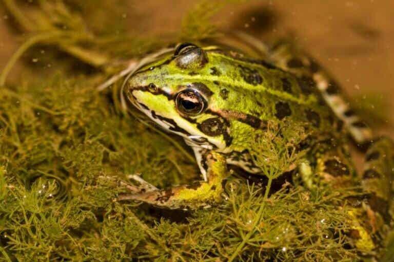 Les grenouilles peuvent-elles respirer sous l'eau ?