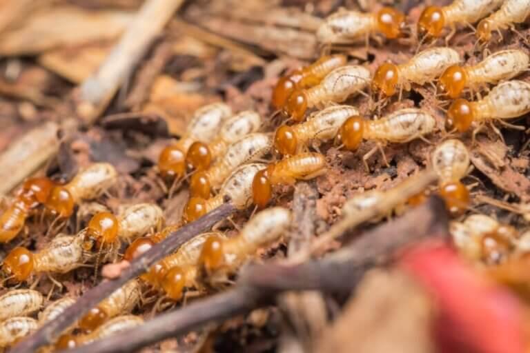 Que mangent les termites ?