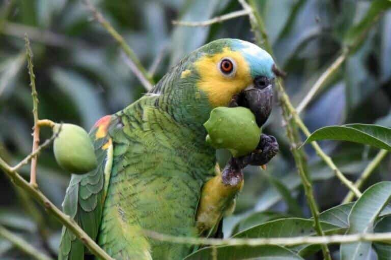 Les perroquets peuvent-ils manger des tomates ?