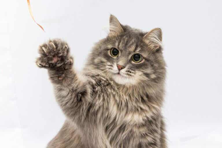 Pododermatite chez le chat : symptômes, causes et traitement