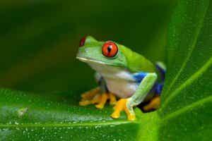 Rainette aux yeux rouges : habitat et caractéristiques