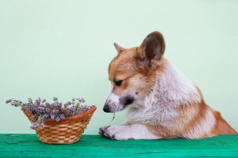 Le romarin est-il bon pour les chiens ?