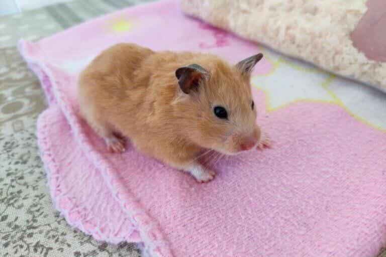 12 symptômes de stress chez le hamster