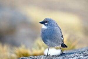 Le diuca, un petit oiseau très commun