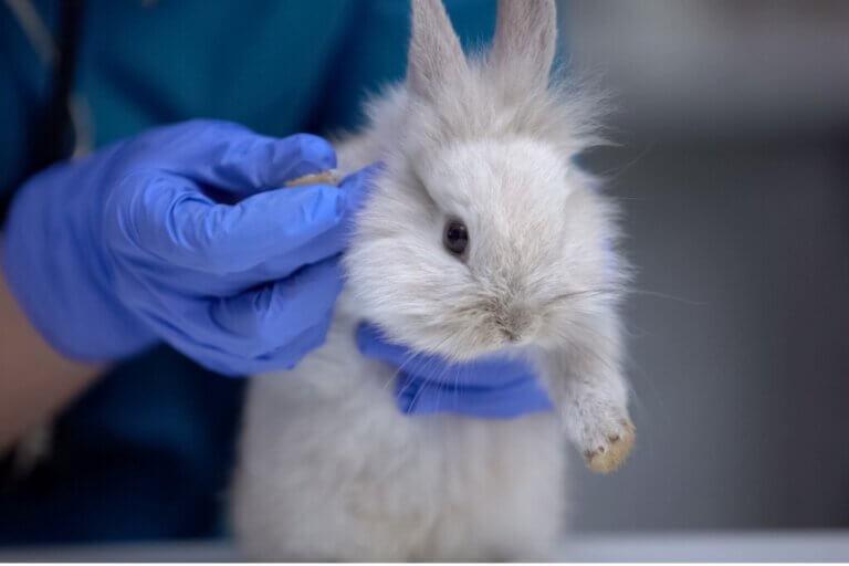 Les pattes arrière de mon lapin sont défaillantes : pourquoi ?