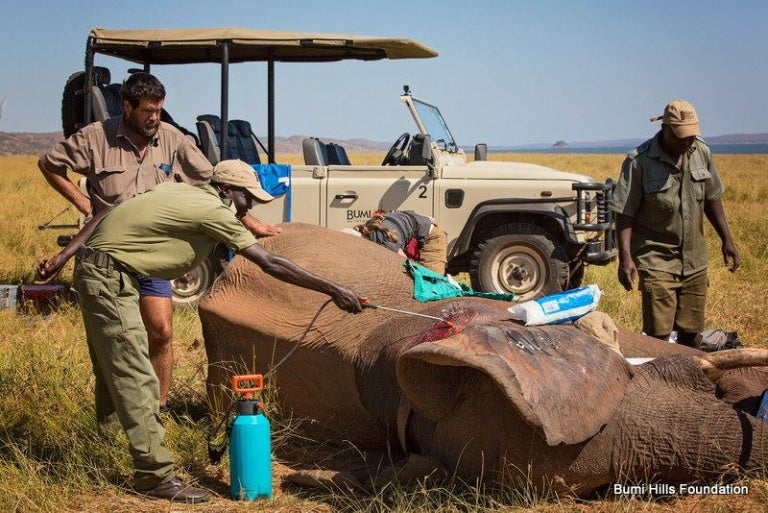 撃たれたゾウのベンを助けるブミヒルズの従業員