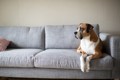 ソファーに乗るボクサー犬