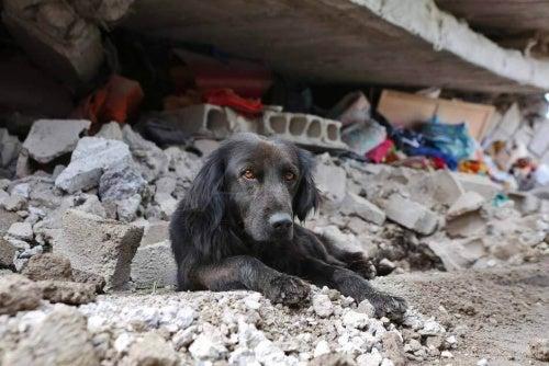 エクアドル地震:倒壊した家から離れない犬
