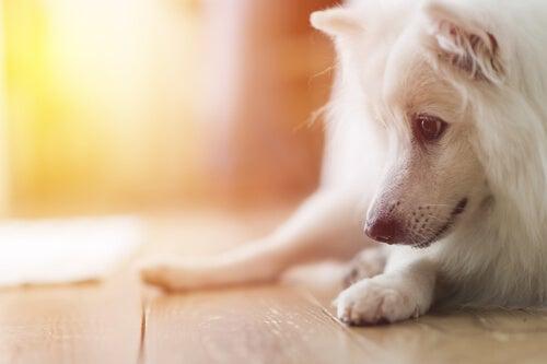 床を見つめる犬