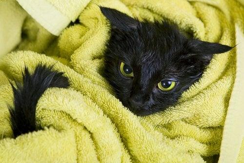 タオルに包まる黒猫