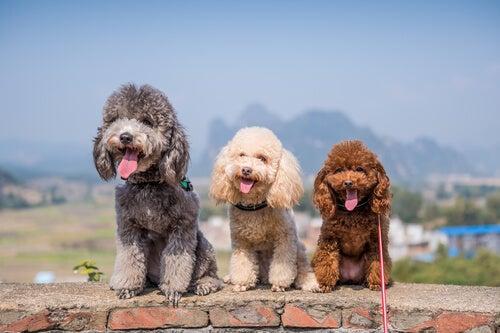 グループ8に当てはまる犬たち: FCIによる犬種の分類