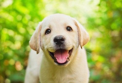 ラブラドールの子犬
