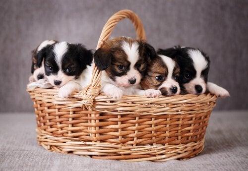 子犬たち仲良くカゴの中でお座り中