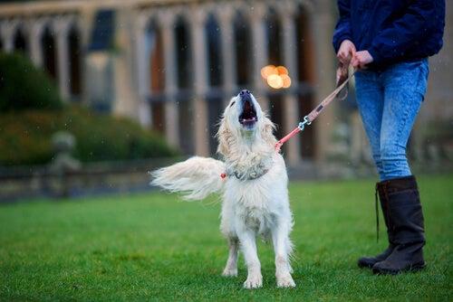 吠える白い犬