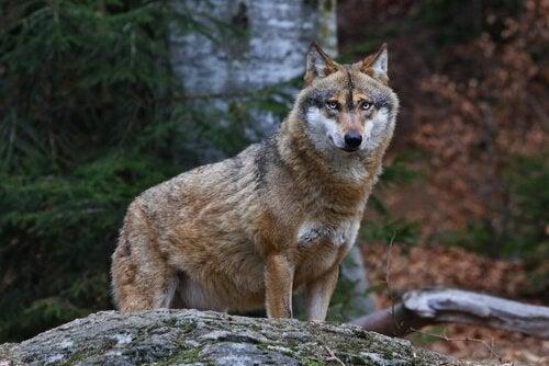 こちらを見ているオオカミ