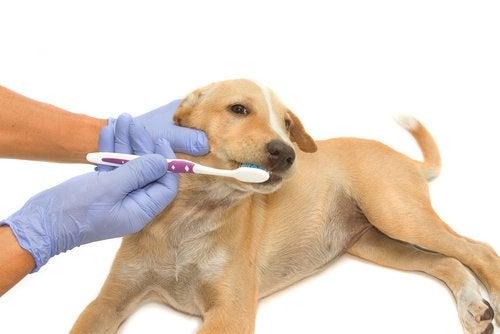 子犬の歯磨き