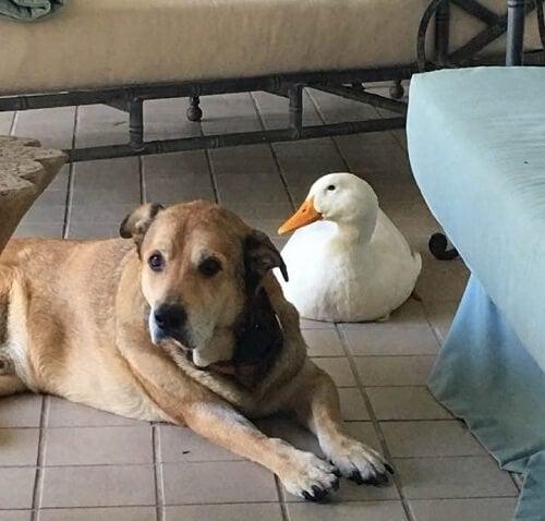 犬とアヒルの友情