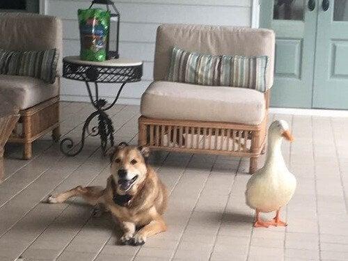 アヒルとの友情でうつ病が治った犬