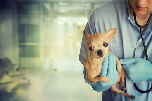 獣医に抱かれるチワワ