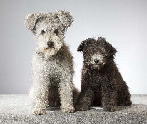 新しい犬種:プミ